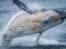 Marine Mammals of Antarctica (RCGS Resolute)
