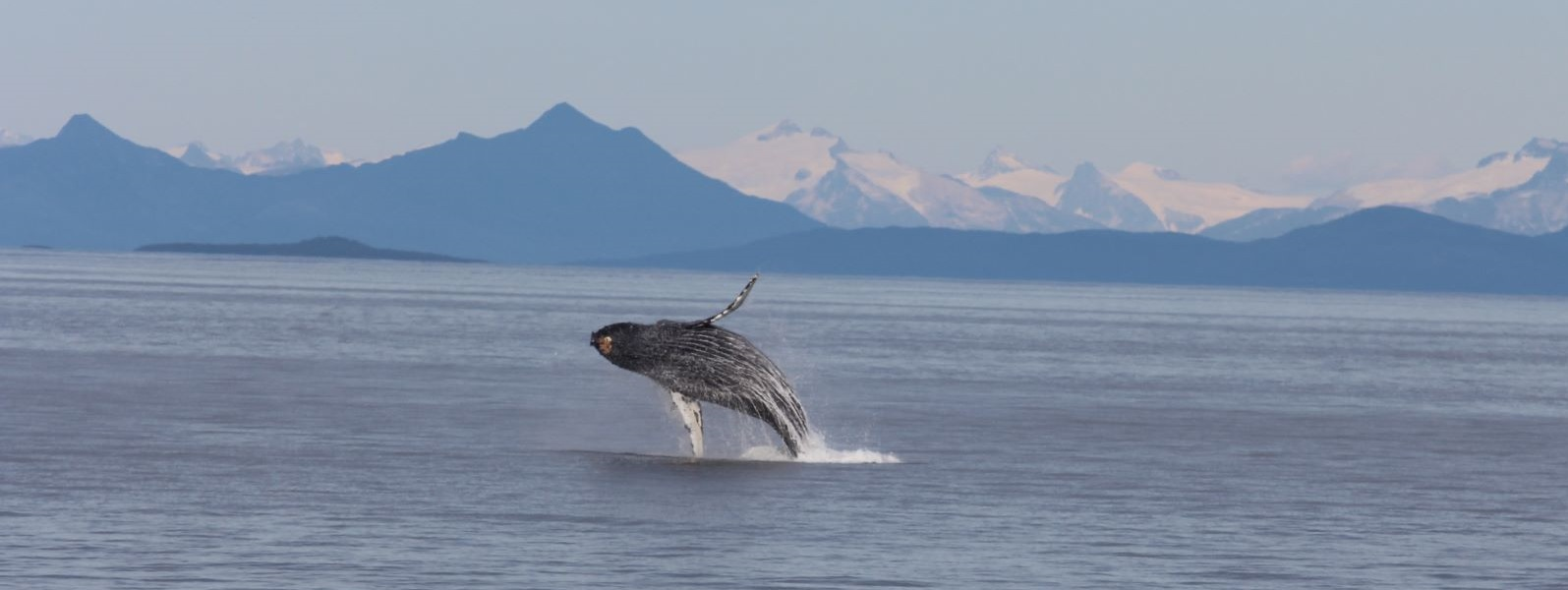 Humpback breaching in Alaska