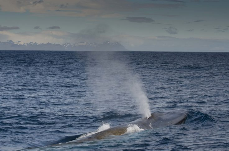 The team sighted 55 Blue whales during the 2019/20 research expedition to South Georgia. Photo credit_Martin Collins
